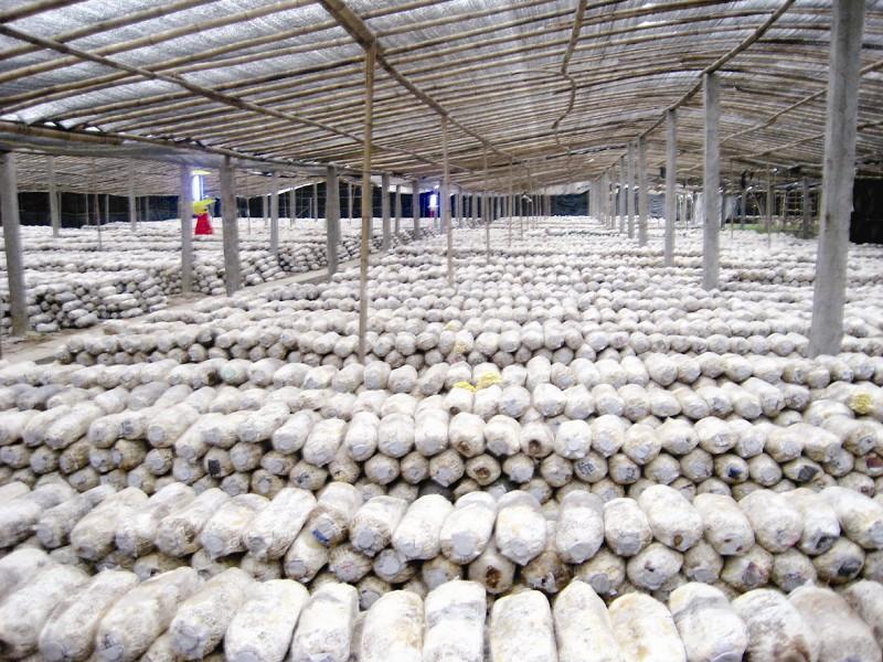 金堂/□叶青金堂是我省农业大县,食用菌年生产规模5.4亿袋,年产量...