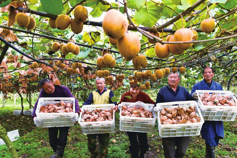 晚熟猕猴桃助农增收